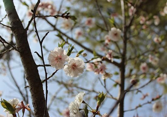 桜が続々開花中!