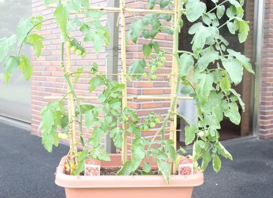 ミニトマト栽培中です!