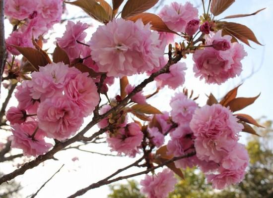 京和の八重桜は満開です!